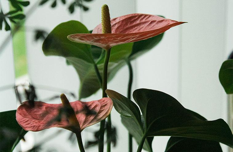 Indlæg billede Hvordan man skal behandle 4 indendørs planter der virkelig kan supplere dit boligindretning Anthurium - Hvordan man skal behandle 4 indendørs planter, der virkelig kan supplere dit boligindretning